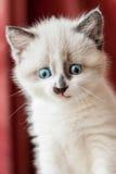 Κινηματογράφηση σε πρώτο πλάνο γατακιών στο εσωτερικό Στοκ Εικόνα