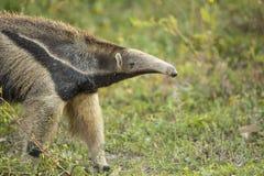 Κινηματογράφηση σε πρώτο πλάνο γιγαντιαίο Anteater που πιάνει τη μυρωδιά Στοκ Φωτογραφία