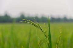 Κινηματογράφηση σε πρώτο πλάνο εγκαταστάσεων ορυζώνα ρυζιού στοκ εικόνες