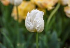 Κινηματογράφηση σε πρώτο πλάνο ενός άσπρου λουλουδιού για να ανθίσει περίπου Στοκ φωτογραφία με δικαίωμα ελεύθερης χρήσης