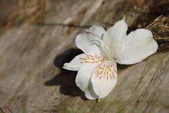 Κινηματογράφηση σε πρώτο πλάνο ενός άσπρου λουλουδιού που βρίσκεται στην ξύλινη επιφάνεια Στοκ εικόνα με δικαίωμα ελεύθερης χρήσης