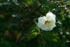 Κινηματογράφηση σε πρώτο πλάνο ενός άσπρου λουλουδιού σε έναν πράσινο κλάδο Στοκ εικόνα με δικαίωμα ελεύθερης χρήσης