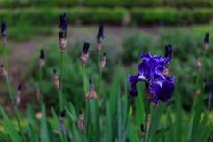 Κινηματογράφηση σε πρώτο πλάνο ενός αρκετά μπλε λουλουδιού Στοκ Φωτογραφία