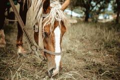 Κινηματογράφηση σε πρώτο πλάνο ενός αλόγου που τρώει τη χλόη - ο ηλικίας τρύγος φωτογραφιών κοιτάζει Στοκ εικόνα με δικαίωμα ελεύθερης χρήσης