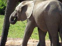 Κινηματογράφηση σε πρώτο πλάνο ενός ελέφαντα μωρών Στοκ φωτογραφία με δικαίωμα ελεύθερης χρήσης