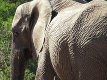 Κινηματογράφηση σε πρώτο πλάνο ενός ελέφαντα Στοκ Εικόνες