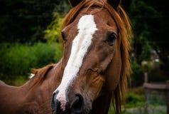Κινηματογράφηση σε πρώτο πλάνο ενός κεφαλιού του αλόγου κόλπων με τα άσπρα μπαλώματα Στοκ Φωτογραφίες