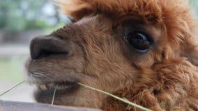 Κινηματογράφηση σε πρώτο πλάνο ενός κεφαλιού llama φιλμ μικρού μήκους
