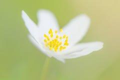 Κινηματογράφηση σε πρώτο πλάνο ενός ξύλινου λουλουδιού anemone στο ανοικτό πράσινο υπόβαθρο Στοκ Φωτογραφίες