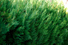 Κινηματογράφηση σε πρώτο πλάνο ενός πολύβλαστου πράσινου θάμνου στον ήλιο Στοκ Εικόνες