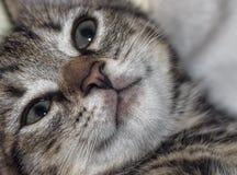 Κινηματογράφηση σε πρώτο πλάνο ενός προσώπου γατακιών ` s Στοκ Φωτογραφία