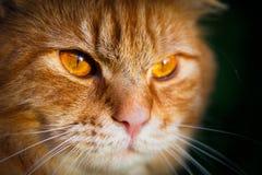 Κινηματογράφηση σε πρώτο πλάνο ενός προσώπου μιας πορτοκαλιάς τιγρέ γάτας στοκ φωτογραφία
