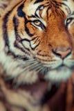 Κινηματογράφηση σε πρώτο πλάνο ενός προσώπου τιγρών Εκλεκτική εστίαση Στοκ Φωτογραφίες