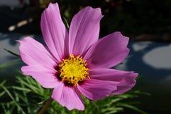 Κινηματογράφηση σε πρώτο πλάνο ενός ρόδινου άνθους λουλουδιών κόσμου Στοκ Φωτογραφίες