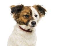 Κινηματογράφηση σε πρώτο πλάνο ενός σκυλιού διασταύρωσης που φορά ένα περιλαίμιο στοκ φωτογραφία με δικαίωμα ελεύθερης χρήσης