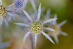 Κινηματογράφηση σε πρώτο πλάνο ενός στρογγυλού prickle μπλε λουλουδιού κάρδων Στοκ Εικόνες