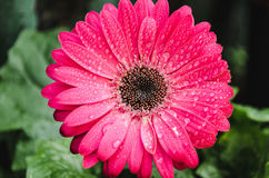 Κινηματογράφηση σε πρώτο πλάνο ενός υγρού λουλουδιού gerber στοκ φωτογραφία με δικαίωμα ελεύθερης χρήσης