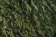 Κινηματογράφηση σε πρώτο πλάνο ενός φυσικών πράσινων σχεδίου και μιας σύστασης της χλόης θάλασσας σε μια πέτρα Στοκ Εικόνες