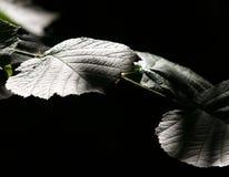 Κινηματογράφηση σε πρώτο πλάνο ενός φύλλου δέντρων φουντουκιών Στοκ Φωτογραφίες
