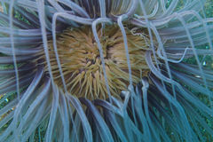 Κινηματογράφηση σε πρώτο πλάνο ενός anemone θάλασσας σωλήνων από Padre Burgos, Leyte, Φιλιππίνες Στοκ εικόνες με δικαίωμα ελεύθερης χρήσης