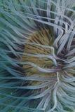 Κινηματογράφηση σε πρώτο πλάνο ενός anemone θάλασσας σωλήνων από Padre Burgos, Leyte, Φιλιππίνες Στοκ Εικόνες