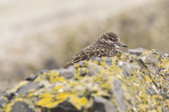 Κινηματογράφηση σε πρώτο πλάνο ενός Arenaria turnstone Rubby interpres wading πουλιού για το α Στοκ Εικόνα