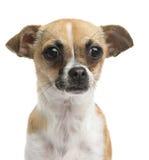 Κινηματογράφηση σε πρώτο πλάνο ενός Chihuahua, 10 μηνών, που απομονώνονται Στοκ φωτογραφία με δικαίωμα ελεύθερης χρήσης