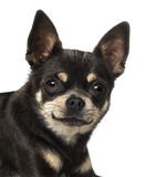 Κινηματογράφηση σε πρώτο πλάνο ενός Chihuahua (18 μηνών) Στοκ Εικόνες