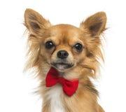 Κινηματογράφηση σε πρώτο πλάνο ενός Chihuahua που φορά έναν δεσμό τόξων, 11 μηνών Στοκ εικόνα με δικαίωμα ελεύθερης χρήσης