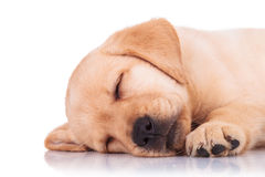Κινηματογράφηση σε πρώτο πλάνο ενός retriever του Λαμπραντόρ ύπνου σκυλιών κουταβιών Στοκ εικόνα με δικαίωμα ελεύθερης χρήσης