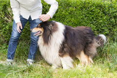 Κινηματογράφηση σε πρώτο πλάνο ενός unrecognizable προσώπου με το πλήρες μήκος σκυλιών κόλλεϊ Στοκ Εικόνες