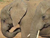 Κινηματογράφηση σε πρώτο πλάνο 2 ελεφάντων Στοκ Εικόνες