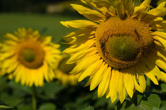 Κινηματογράφηση σε πρώτο πλάνο ηλίανθων με τις μέλισσες Στοκ Εικόνες