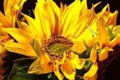 Κινηματογράφηση σε πρώτο πλάνο ηλίανθων λουλουδιών Στοκ εικόνες με δικαίωμα ελεύθερης χρήσης
