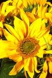 Κινηματογράφηση σε πρώτο πλάνο ηλίανθων λουλουδιών Στοκ Εικόνα