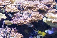 Κινηματογράφηση σε πρώτο πλάνο διάφορων μικρών ψαριών που κολυμπούν ενάντια των κοραλλιών Στοκ Φωτογραφίες
