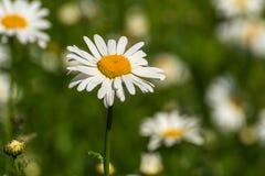Κινηματογράφηση σε πρώτο πλάνο λιβαδιών λουλουδιών της Daisy Στοκ φωτογραφίες με δικαίωμα ελεύθερης χρήσης