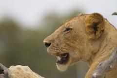 Κινηματογράφηση σε πρώτο πλάνο λιονταρινών (leo Panthera) στοκ εικόνα