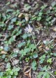 Κινηματογράφηση σε πρώτο πλάνο ιώδους Colchicum autumnale Στοκ Εικόνες