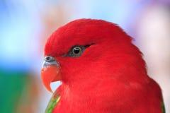 Κινηματογράφηση σε πρώτο πλάνο, κίτρινος-υποστηριγμένο Morotai Lory, κόκκινος παπαγάλος Στοκ Εικόνες