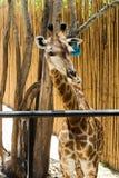 Κινηματογράφηση σε πρώτο πλάνο καφετί Giraffe στο ζωολογικό κήπο Στοκ εικόνες με δικαίωμα ελεύθερης χρήσης