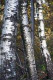 Κινηματογράφηση σε πρώτο πλάνο κορμών δέντρων σημύδων στοκ φωτογραφία με δικαίωμα ελεύθερης χρήσης