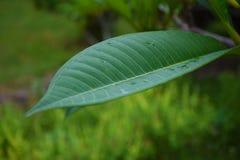 Κινηματογράφηση σε πρώτο πλάνο/μακρο πράσινο φύλλο φύσης στο υπόβαθρο φύσης Στοκ εικόνα με δικαίωμα ελεύθερης χρήσης