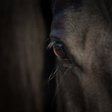 Κινηματογράφηση σε πρώτο πλάνο ματιών αλόγων Αραβικό μαύρο κεφάλι αλόγων Λεπτομέρεια αλόγων στο σκοτεινό υπόβαθρο Στοκ Φωτογραφίες