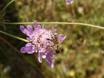 Κινηματογράφηση σε πρώτο πλάνο μελισσών μελιού Στοκ φωτογραφία με δικαίωμα ελεύθερης χρήσης