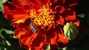 Κινηματογράφηση σε πρώτο πλάνο μελισσών Στοκ Φωτογραφίες