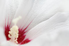 Κινηματογράφηση σε πρώτο πλάνο μιας άσπρης mallow άνθισης Στοκ φωτογραφία με δικαίωμα ελεύθερης χρήσης