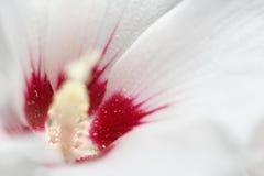 Κινηματογράφηση σε πρώτο πλάνο μιας άσπρης mallow άνθισης Στοκ εικόνες με δικαίωμα ελεύθερης χρήσης