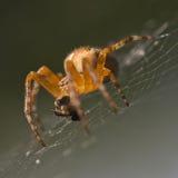 Κινηματογράφηση σε πρώτο πλάνο μιας αράχνης στον Ιστό του ενάντια σε μια φυσική μαλακή πλάτη Στοκ Φωτογραφία