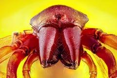 Κινηματογράφηση σε πρώτο πλάνο μιας αρσενικής αράχνης κυνηγών Woodlouse Στοκ φωτογραφία με δικαίωμα ελεύθερης χρήσης